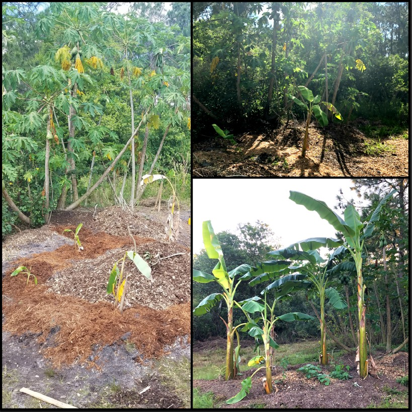 Banana Circle Compost method