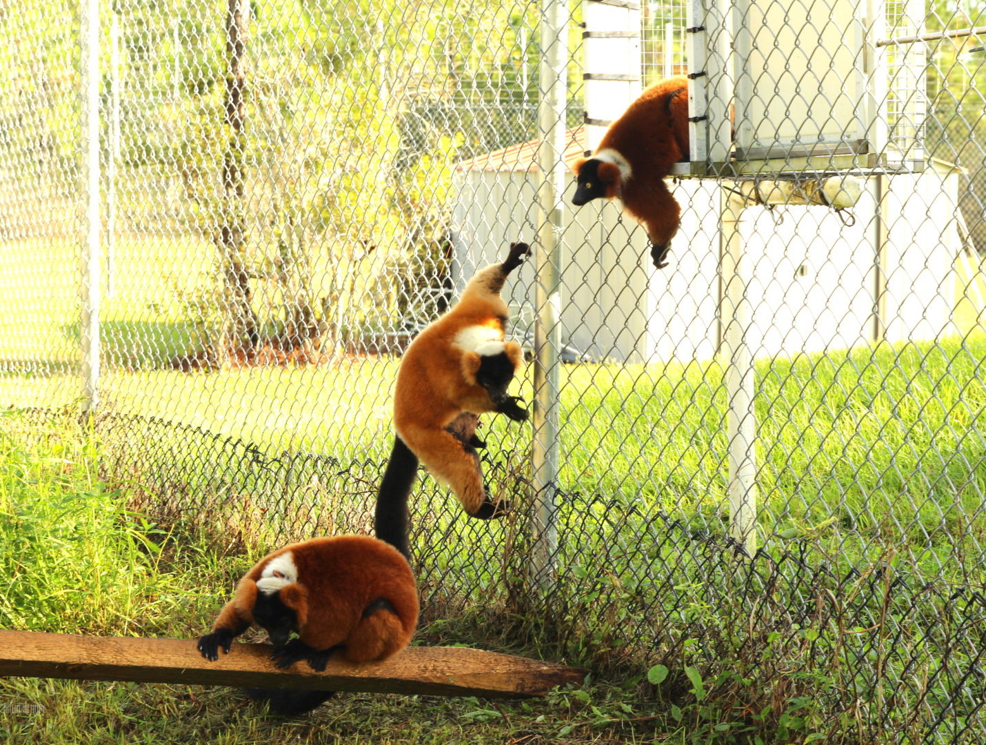 Red ruffed lemurs clinbing down chain link fencing