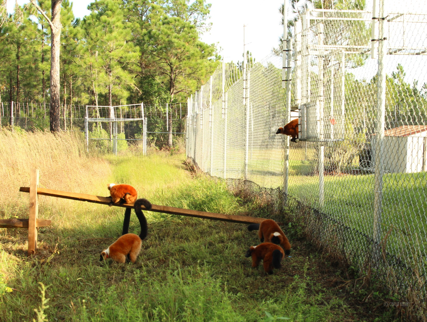 A group of red ruffed lemurs leaving their shelter and entering their forest home