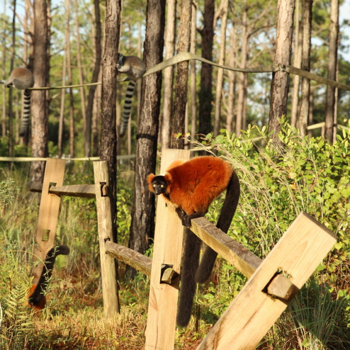A single young red ruffed lemur stands on split rail fencing with ring-tailed lemurs int he background
