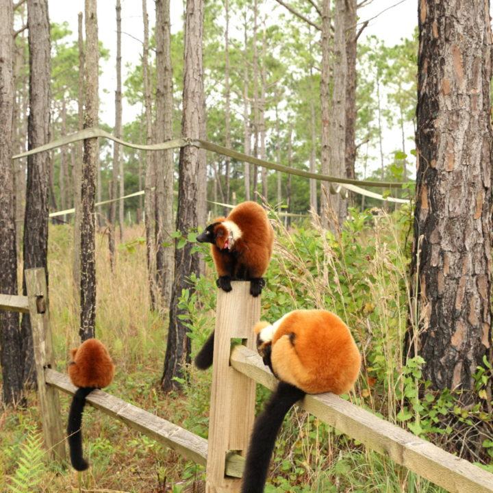 Group of red ruffed lemurs sitting on split rail fencing