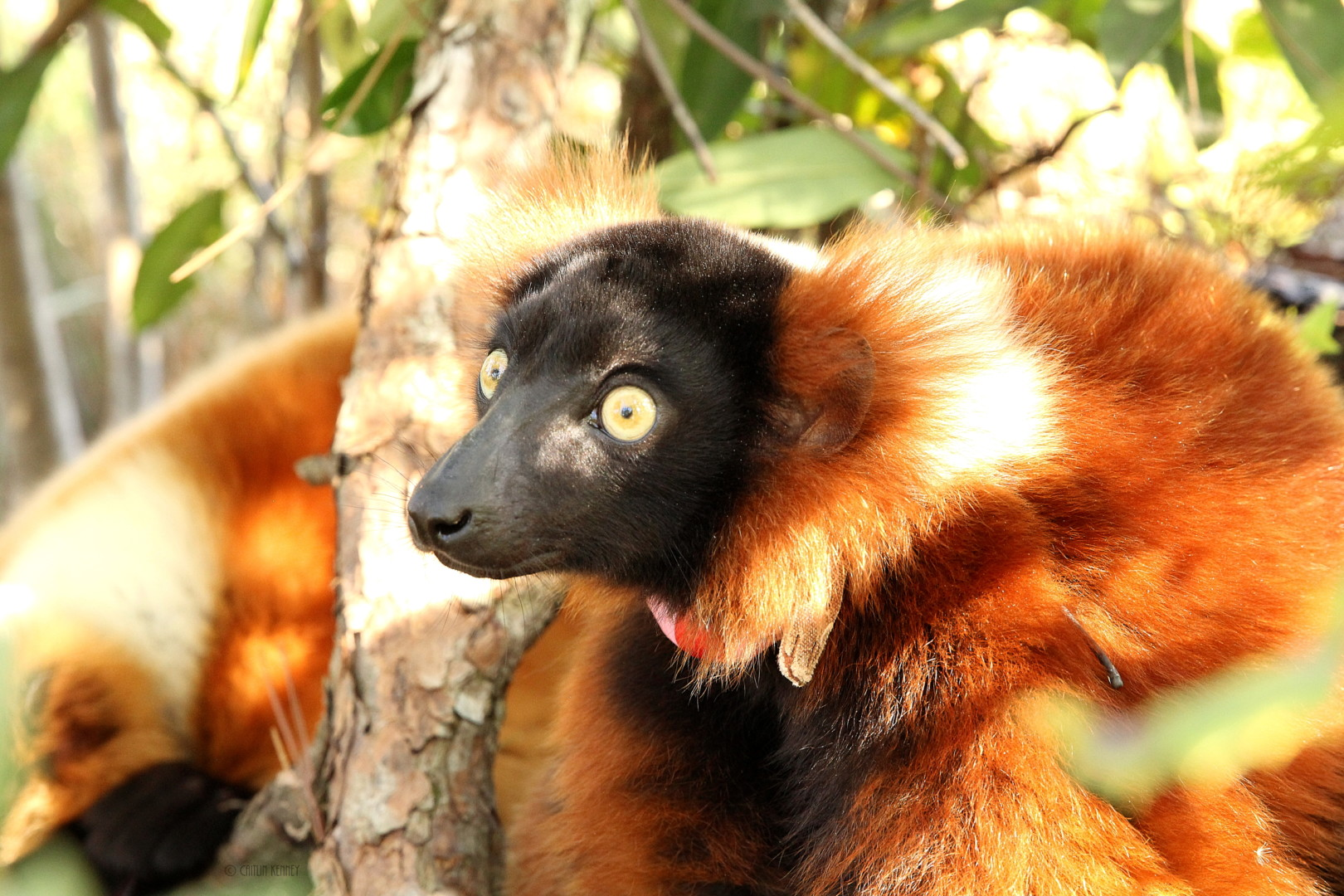 Close up of young Red Ruffed Lemur in the trees in Myakka City, FL