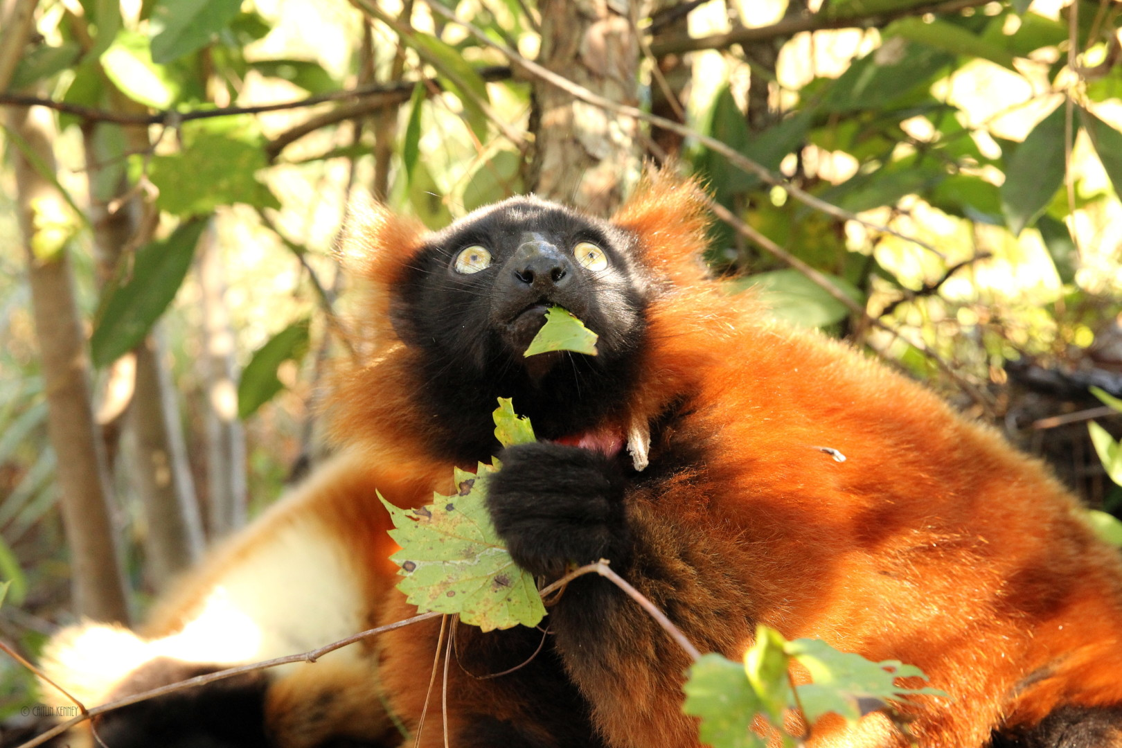 Juvenile red ruffed lemur eating grapevine and looking up nervously