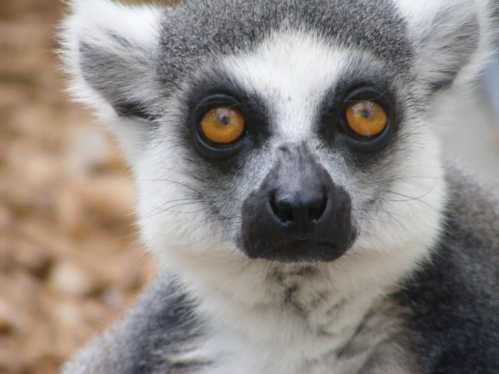 Ring-tailed lemur male Schaefer looking at camera