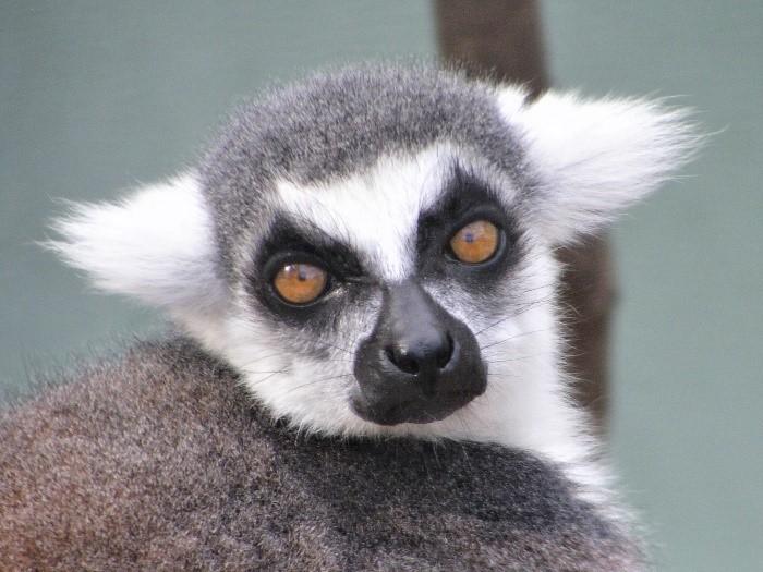 Ring-tailed lemur female Medella looking at camera