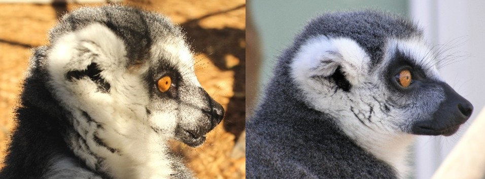 Female ring-tailed lemur Medella before and after weight loss pictures