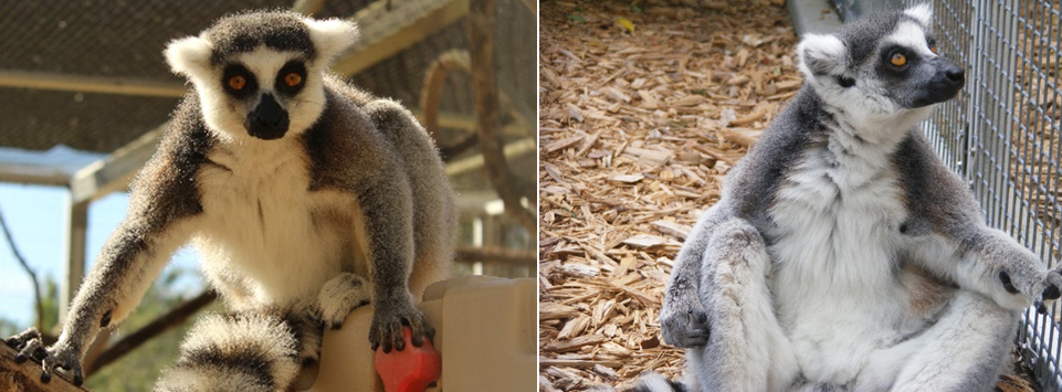 Male ring-tailed lemur Schaefer before and after weight loss photos