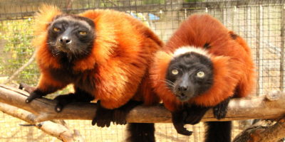 Red ruffed lemur male Hazo on left and female Aviavy on right