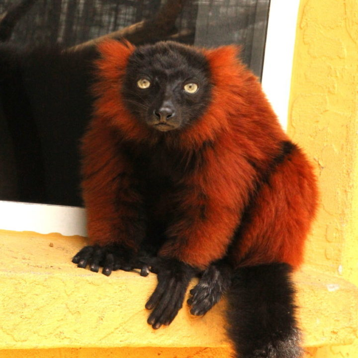 Red ruffed lemur female Aviavy (formerly Ruby)