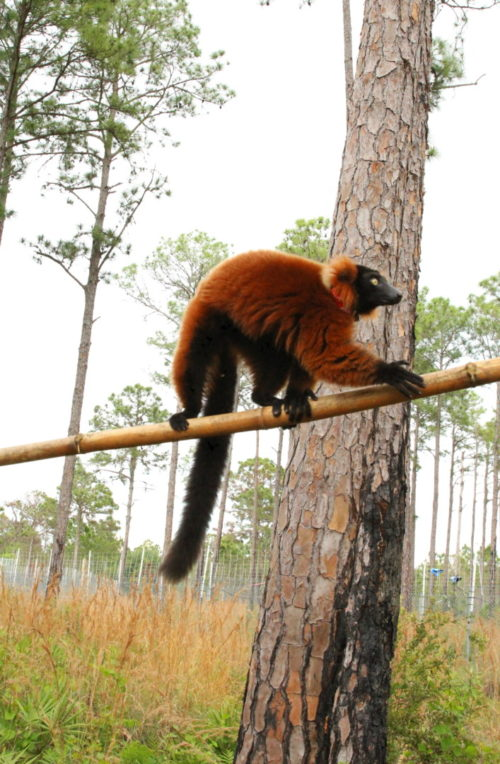 Young red ruffed lemur Frezy climbing branch in forest