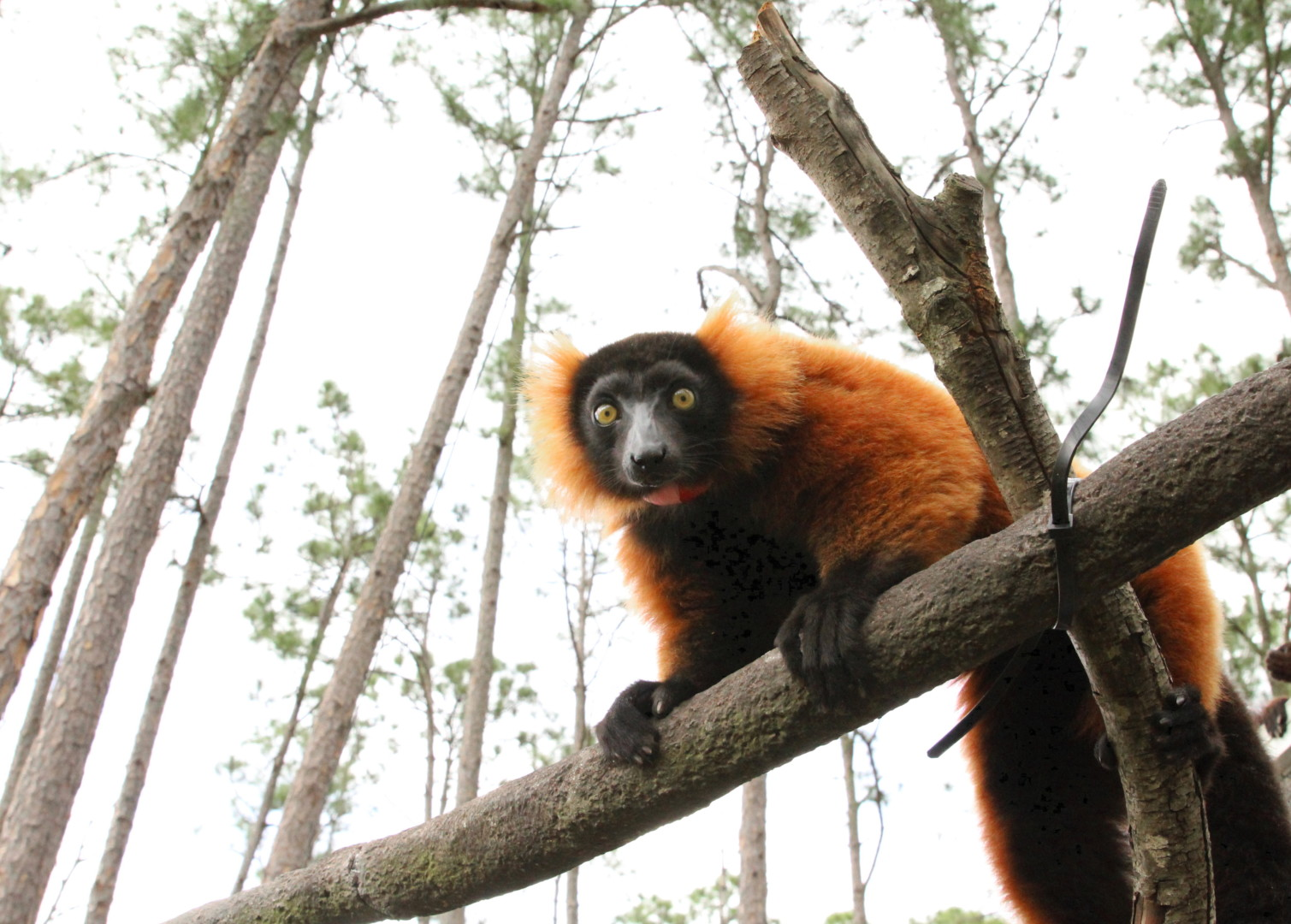 Young red ruffed lemur Frezy climbing branching in forest
