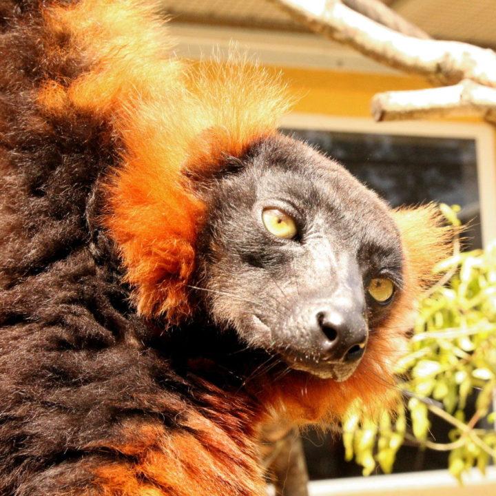 Red ruffed lemur Hazo (formerly Indy)