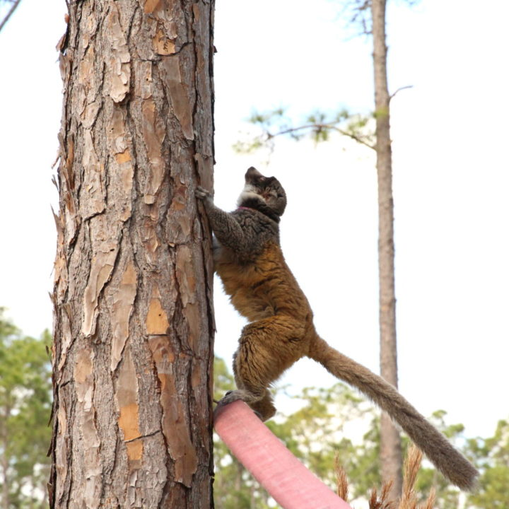 Mongoose lemur female climbing a tree in the forest
