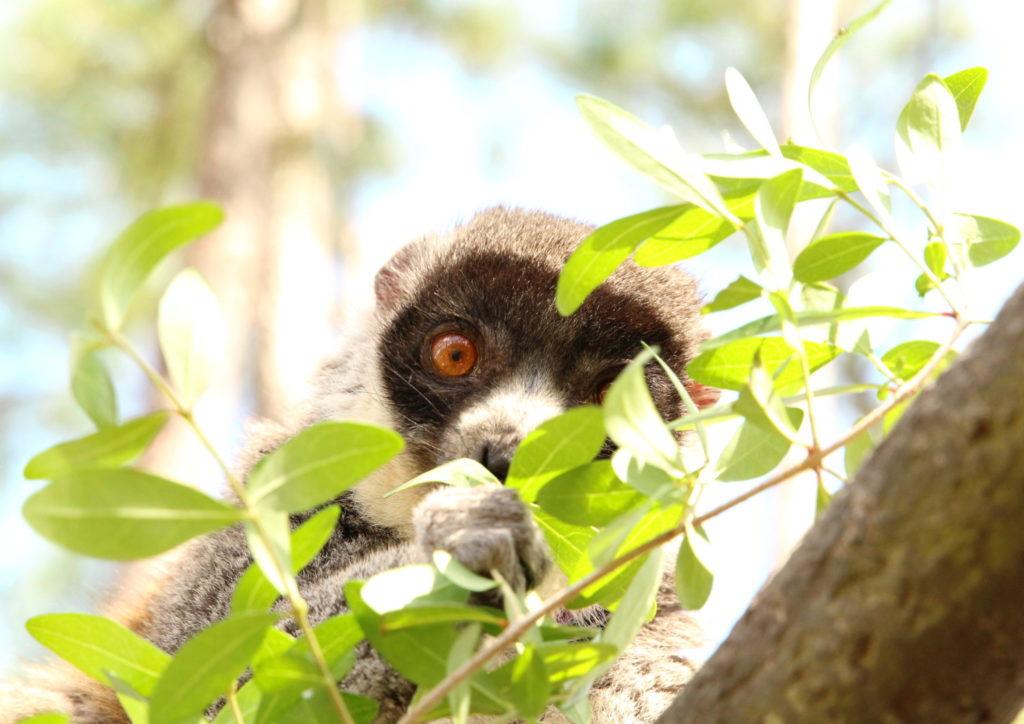 Mongoose Lemur Forest Introduction