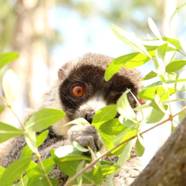 Female mongoose lemur eating leaves in free range forest habitat