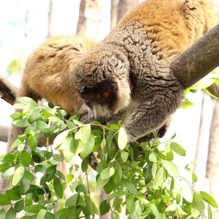 Two mongoose lemur females eating leaves in forest habitat