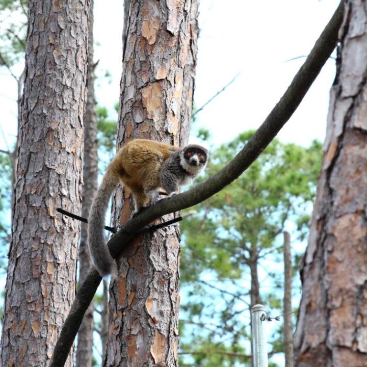 Female mongoose lemur climbing branching in forest habitat