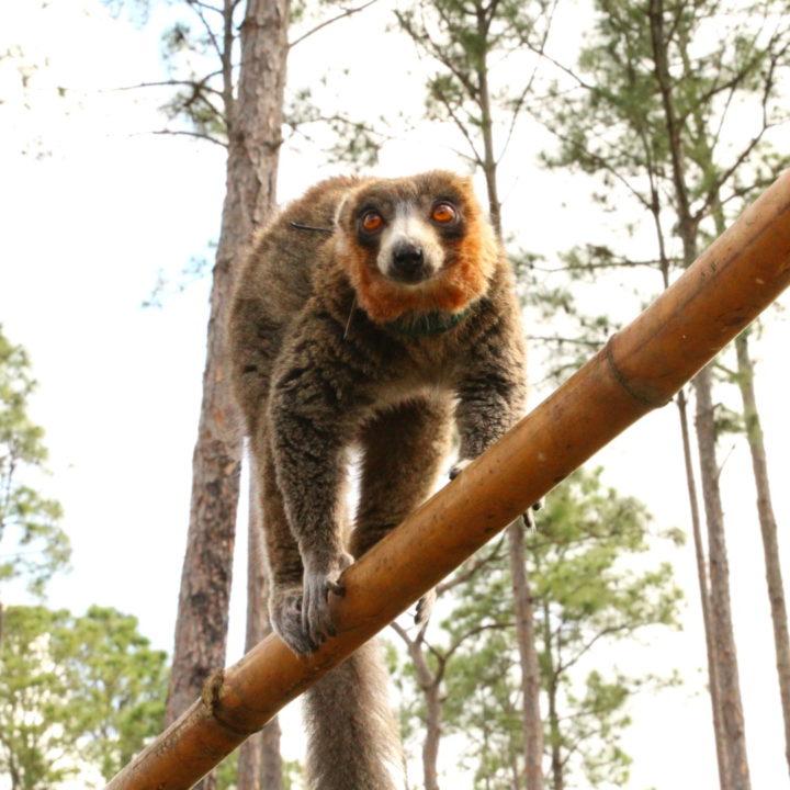 Male mongoose lemur climbing branching in forest habitat