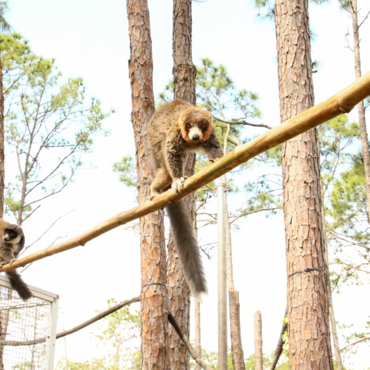 Two mongoose lemurs climb branching in forest habitat