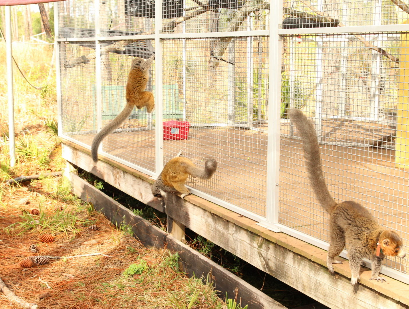 Three mongoose lemurs climbing on outsides of shelter in forest habitat