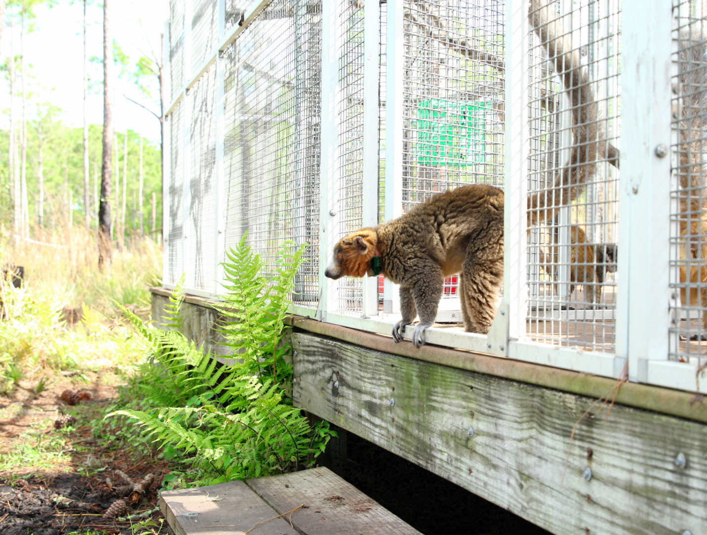 Male mongoose lemur Felix looks out of front door of shelter into forest habitat