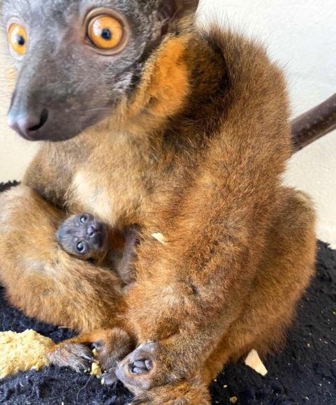 Collared lemur infant nestled on mom Isabelle's abdomen