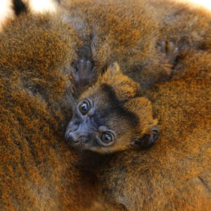 Collared lemur infant clings to mom Isabelle