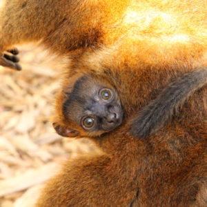 Collared lemur infant wrapped around mom's abdomen