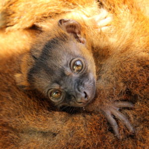 Collared lemur infant stares at camera