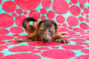 Middle-size red ruffed lemur infant laying on blanket