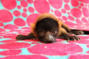 Largest red ruffed lemur infant laying on blanket