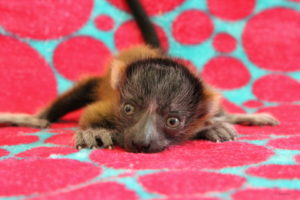 Smallest red ruffed lemur infant laying on blanket