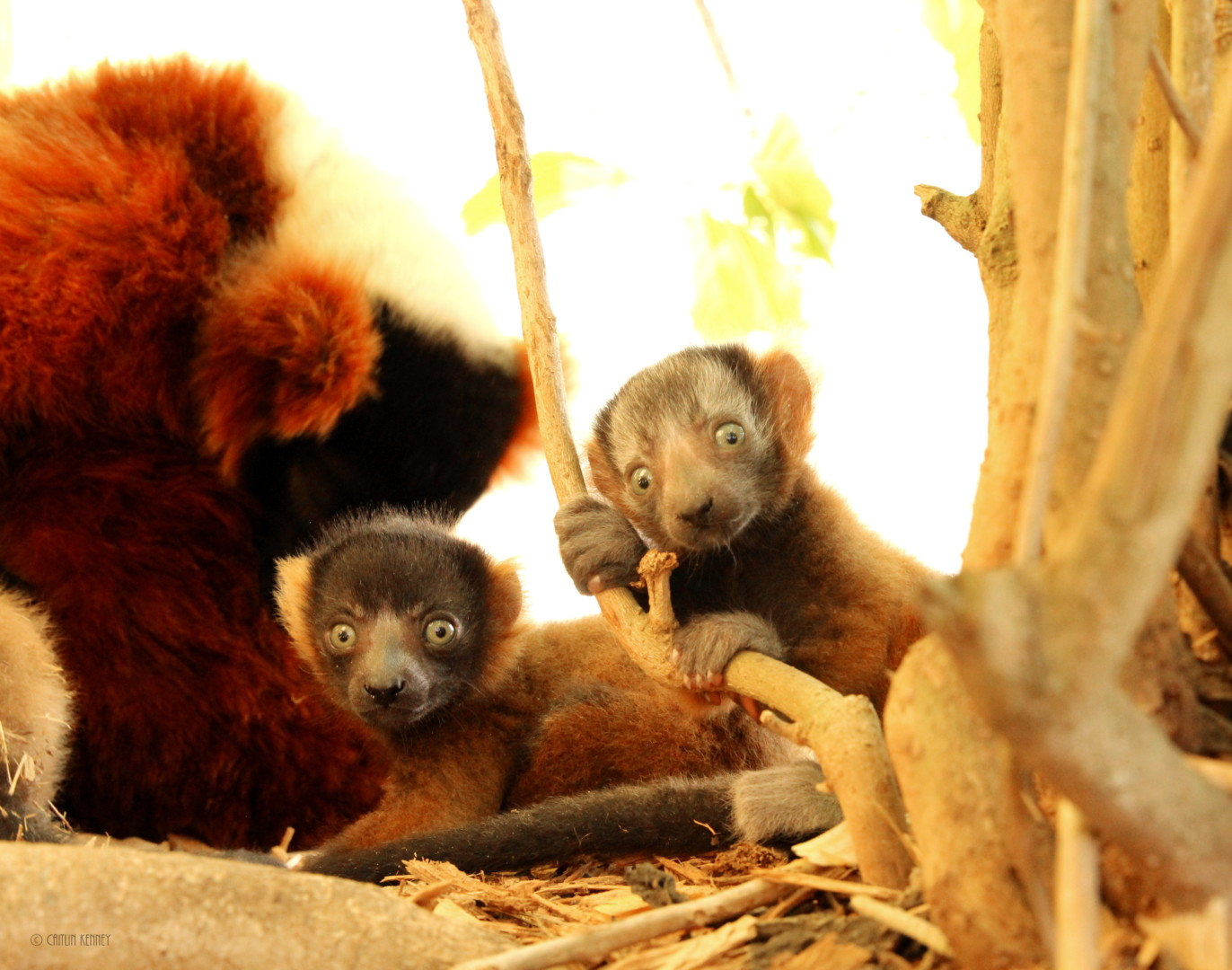Larger two red ruffed lemur infants sitting at base of bush with mom Zazabe behind them.