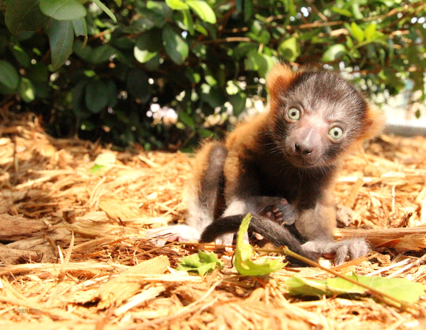 Red ruffed lemur infant sits outside on mulch