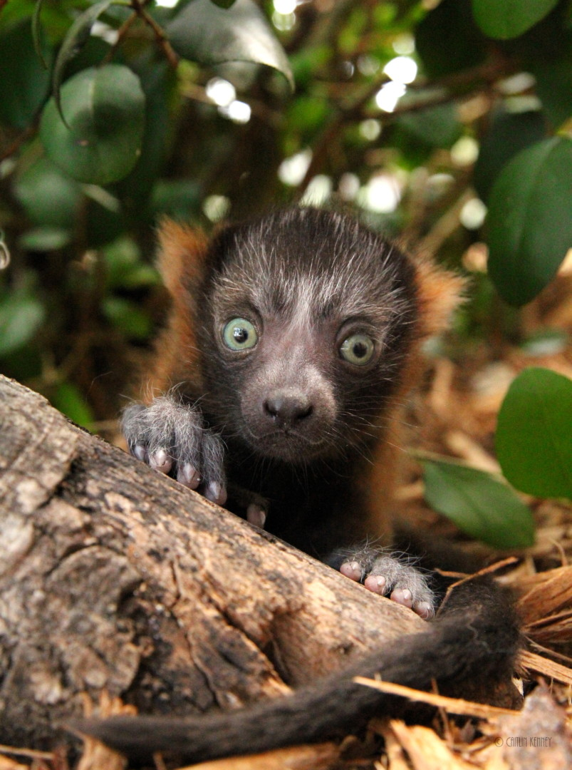 Red ruffed infant sits under a bush and looks straight at camera