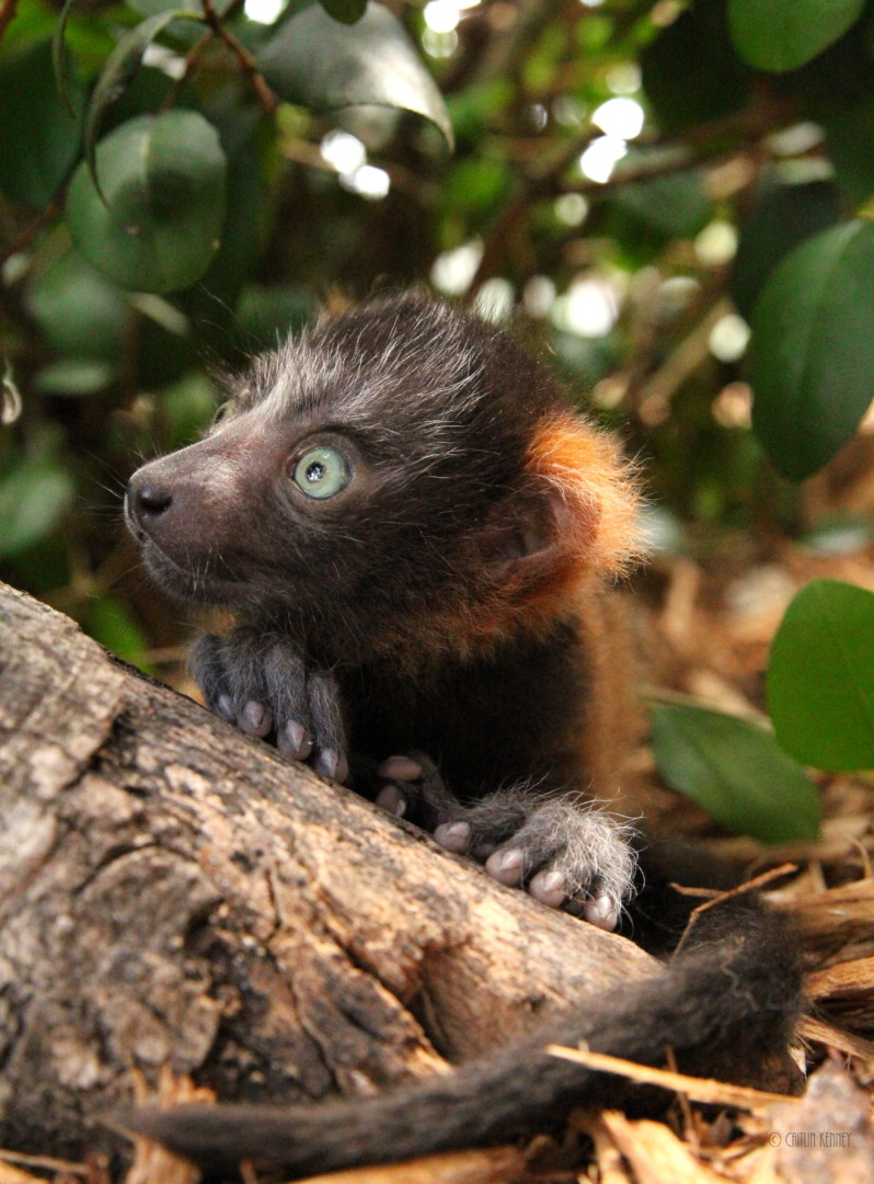 Red ruffed infant looks off to the left while sitting under a bush