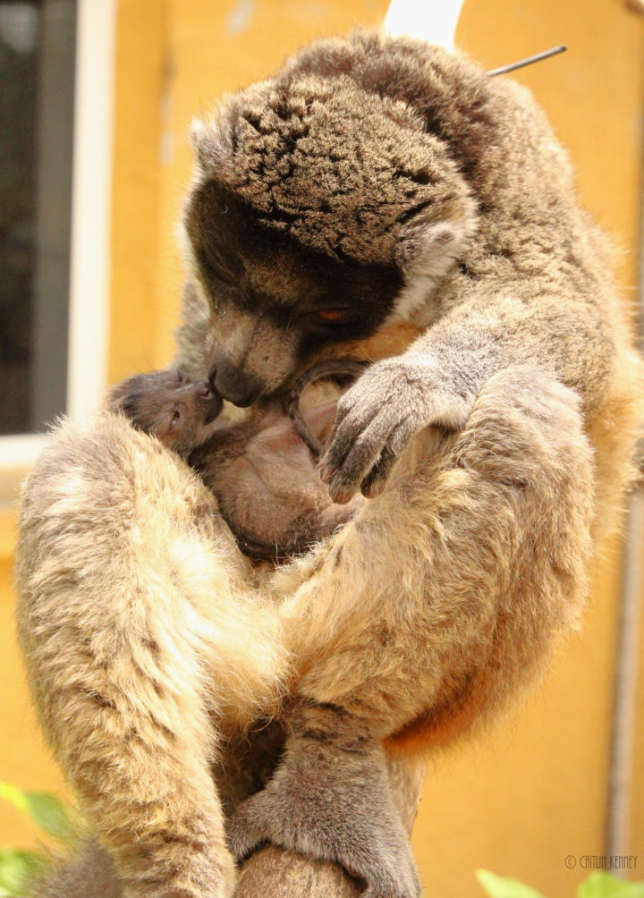 Mongoose lemur mom is nose to nose with infant on her belly