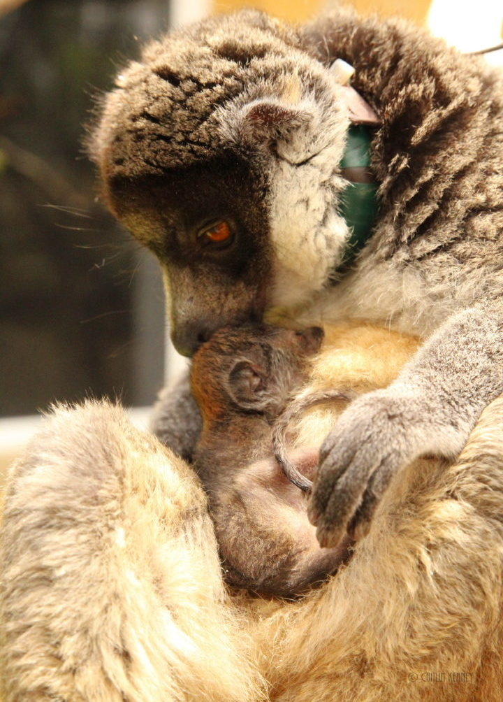 Mongoose lemur mom grooms infant on her belly