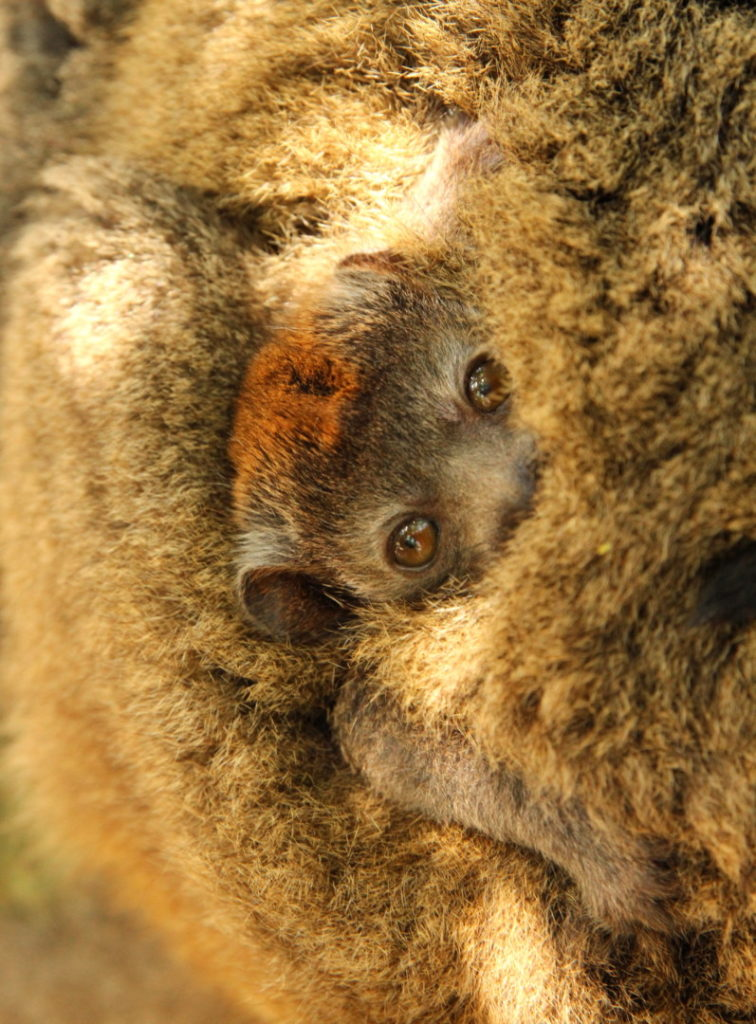 Critically endangered infant mongoose lemur clings to it's mother