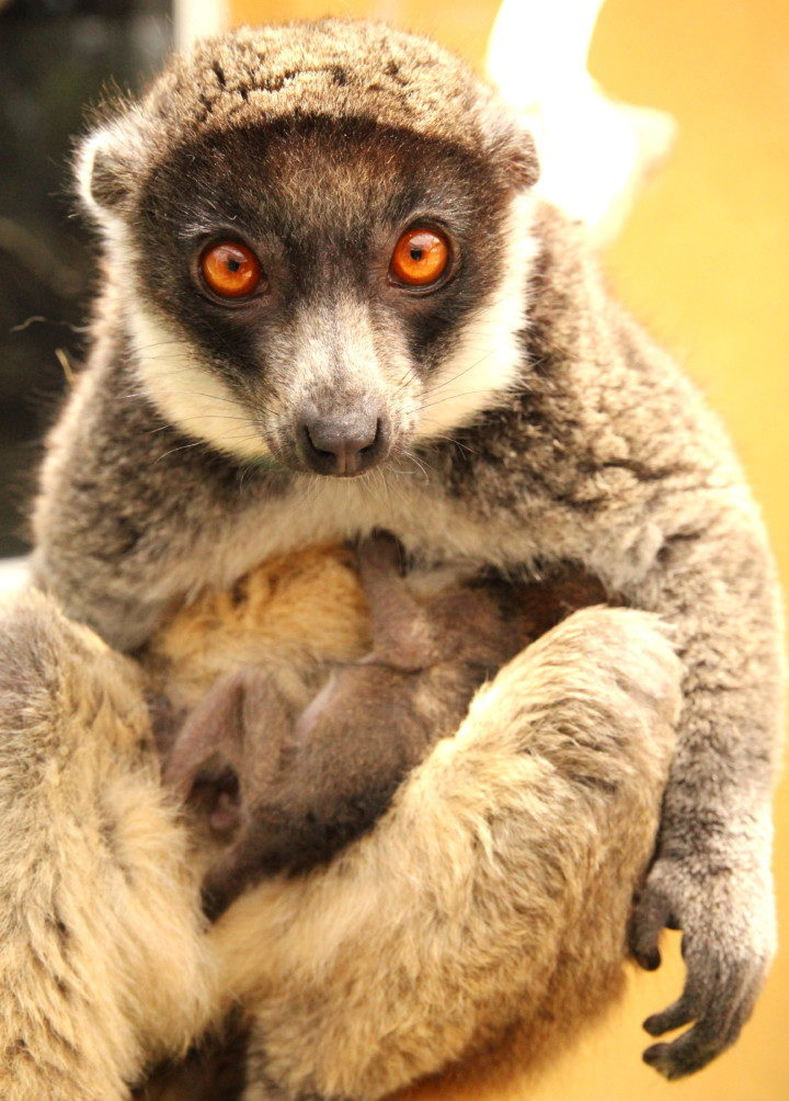 Mongoose lemur mom looks at camera with infant on her belly