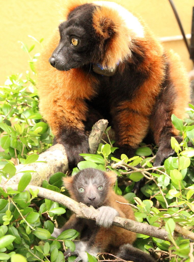 Red ruffed infant sits in bush with father behind her
