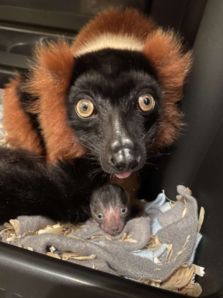 Mother red ruffed lemur sits over infant in nest box