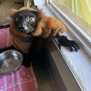 Red ruffed lemur Volana at window in customized recovery room