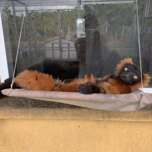 Red ruffed lemur Volana sitting on sunny seat (hammock)