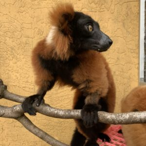 Red ruffed lemur Volana with brother on branching outside