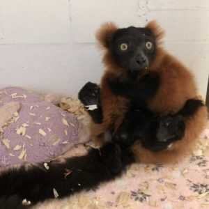 Red ruffed lemur Volana in customized recovery room