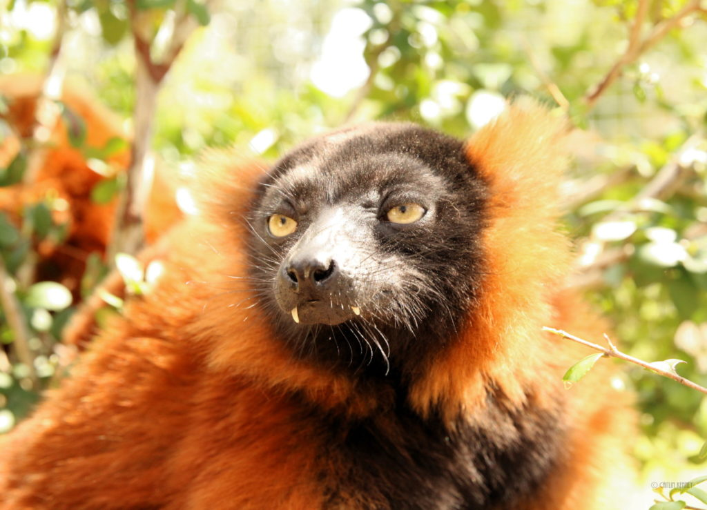 Red ruffed lemur Nify with visible canines emerging from between her lips
