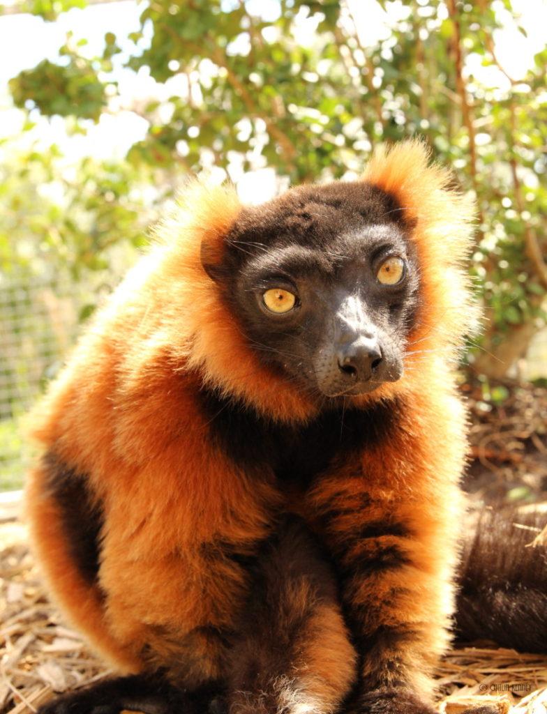 Red ruffed lemur Volana sitting on ground