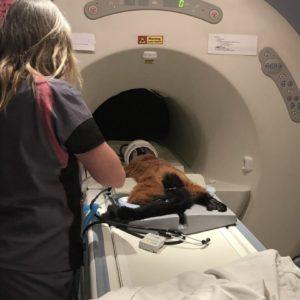 Red ruffed lemur Volana in MRI machine