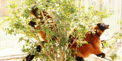 Red ruffed lemurs Volana and Demi sitting in bush